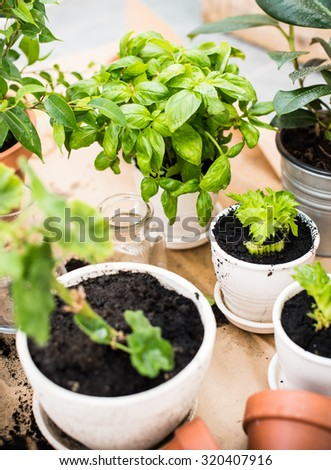Natural plants in pots, green garden on a balcony. Urban gardening, home  planting