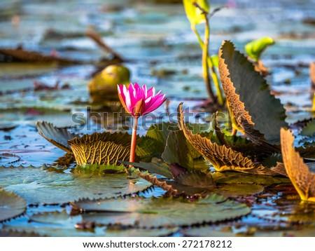 Natural red lotus in Lotus Lake at Phatthalung Province, Thailand - stock photo