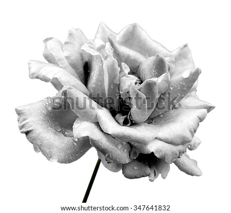 Natural rose flower isolated on white black and white - stock photo