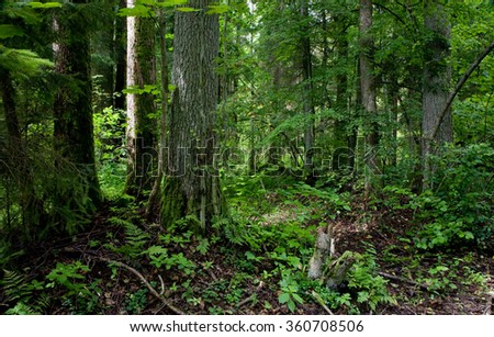 Natural stand of Bialowieza forest Landscape Reserve with alder tree moss wrapped,Bialowieza Forest,Poland,Europe - stock photo