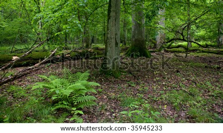 Natural stand of Bialowieza Forest reserve with broken oak tree moss wrapped lying in background and fern bunch in foreground