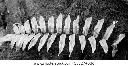 Natural still life of leaves on the descent from the plateau Roraima - Venezuela (black and white)