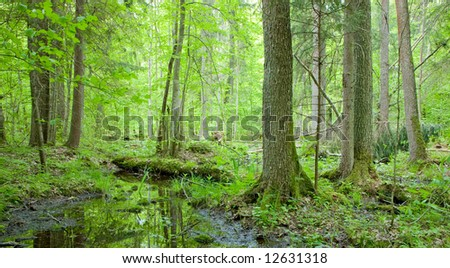 Natural swampy forest at springtime with old alder tree in foreground - stock photo