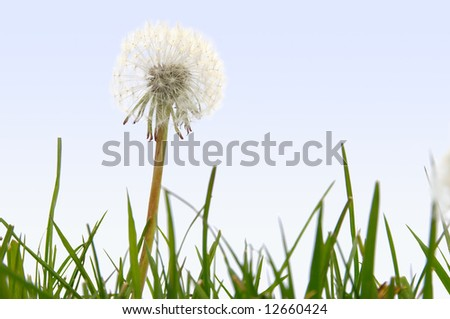 Nature background - Dandelion puffball