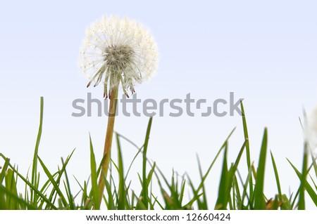 Nature background - Dandelion puffball - stock photo