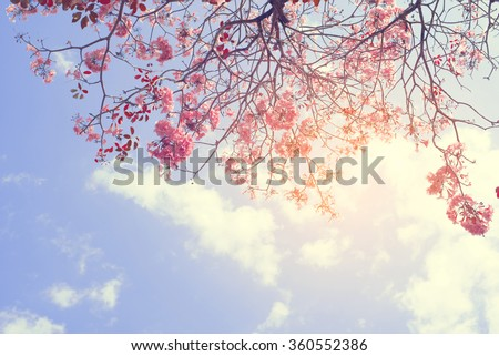 Nature background of beautiful tree pink flower in spring - serenity and rose quartz vintage pastel color filter - stock photo