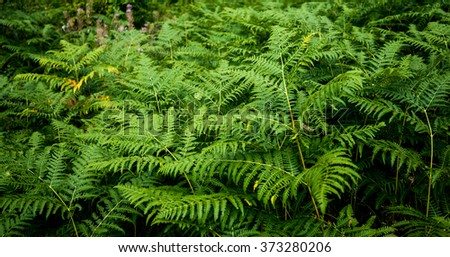 nature background of fern in the mountains - stock photo