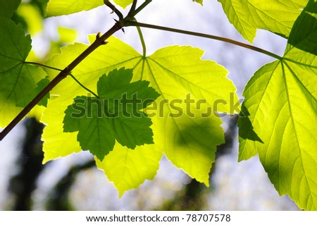 Nature background of green leaves sunlit from behind. - stock photo