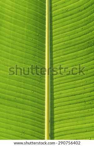Nature background, the green banana leaf with water droplets, all real. - stock photo