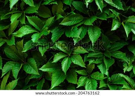 Nature background with ivy green leaves. Ecology.  - stock photo