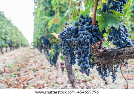 Nature background with vineyard in autumn harvest. Juicy bunch of grapes. - stock photo
