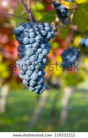 Nature background with Vineyard.Wine concept. low depth of focus    - stock photo