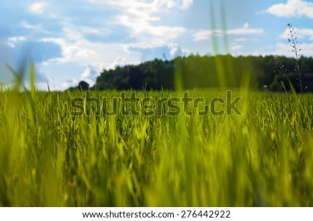 Nature. Backgrounds. Young wheat taken from bottom point. In the background the sky and the front garden. - stock photo