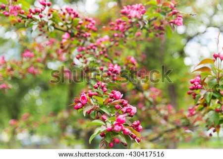 nature, botany, gardening and flora concept - close up of beautiful blooming apple tree branch with flowers in spring garden - stock photo