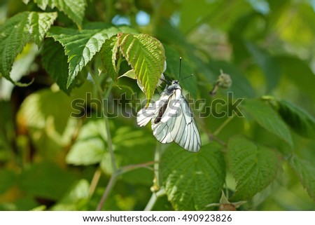 Nature. Butterfly on leaves of raspberry bush, close-up