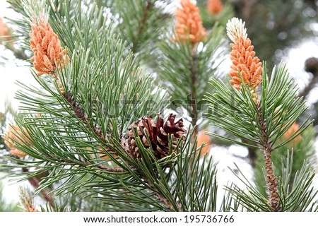 Nature. Closeup of branch or twig with green needles of pine tree - stock photo