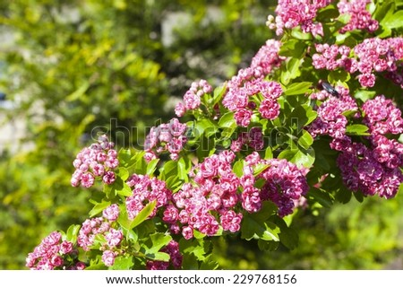 Nature. Closeup of branch with beautiful bloosoming pink flowers of hawthorn tree. Spring. - stock photo
