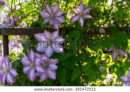 Nature Detail of Lush Lilac Colored Clematis Flowers in Bloom Backlit by Warm Sunshine - stock photo