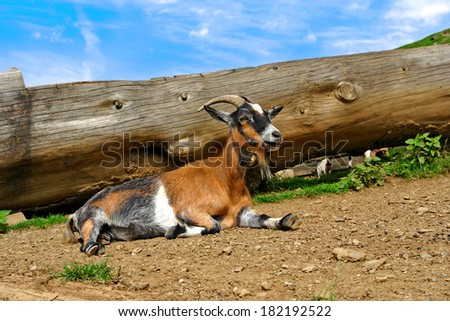 nature, farm, cute young goat resting near logs sunny day