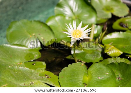 nature, flora and biology concept - white water lily in pond - stock photo