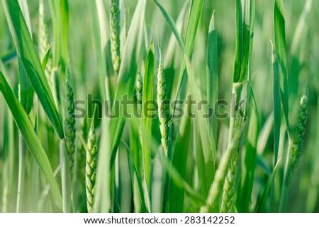 nature green background wheat ears of grain in the sun. Organic farming - stock photo