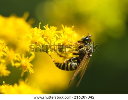Nature image showing details of insect life: closeup / macro of a wasp / poliste sitting on the yellow flower with black and yellow pattern on its body. Can be used as a wallpaper  or postcard. - stock photo