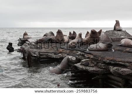 Nature of Kamchatka: rookery Steller Sea Lion or Northern Sea Lion (Eumetopias Jubatus). Avachinskaya Bay, Petropavlovsk-Kamchatsky, Kamchatka Peninsula, Russia - stock photo