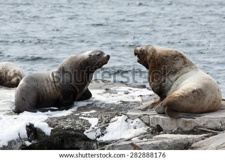Nature of Kamchatka: rookery Steller Sea Lion or Northern Sea Lion (Eumetopias Jubatus). Russia, Kamchatka Peninsula, Avachinskaya Bay, Petropavlovsk-Kamchatsky City. - stock photo
