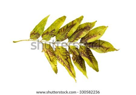nature, season, autumn and botany concept - dry fallen ash tree leaf - stock photo