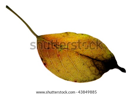 Nature yellowing leaves Under backlighting isolated with white