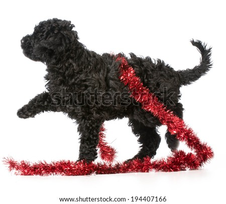 naughty barbet puppy playing with red christmas garland on white background - stock photo