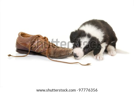 Naughty border collie puppy caught while chewing on a shoe - stock photo