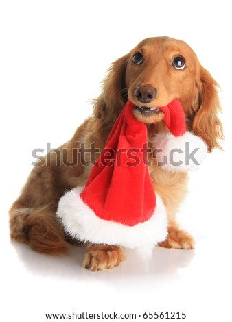 Naughty dachshund dog chewing on Santa's hat. - stock photo