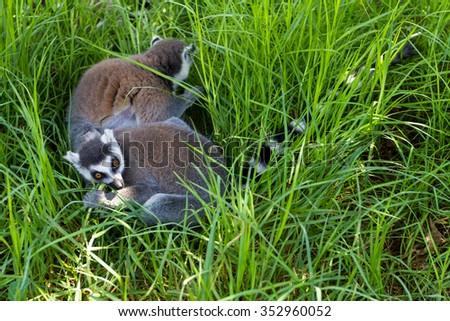 Naughty lemurs in the grass (gorizontal), Ring-tailed Lemur (Lemur catta) - stock photo