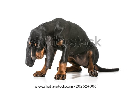 naughty puppy - black and tan coonhound with head dropped as though ashamed - stock photo