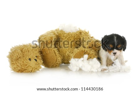 naughty puppy - cavalier king charles puppy chewing apart a stuffed teddy bear - stock photo