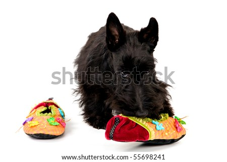 Naughty Scottish Terrier with slippers on white background