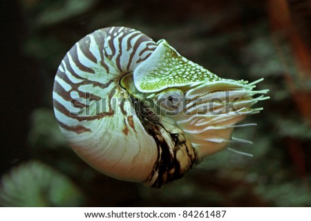 Nautilus pompilius or chambered nautilus, is a cephalopods with a prominent head and tentacles, its bony body structure is externalized as a shell. To swim, the nautilus draws water into and out. - stock photo
