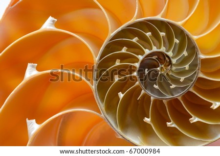nautilus shell section