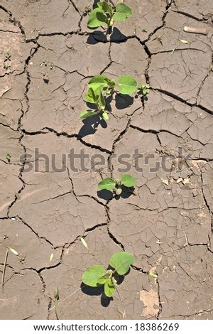 """Near drought conditions challenge spring crops - """"Glycine max"""" soybean seedlings and sprouts - top view for in a row - stock photo"""