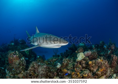 Near Eleuthra in the Bahamas, there are opportunities to get very close to Caribbean Reef Sharks. This shark is only 1 foot away from the fish-eye dome. December