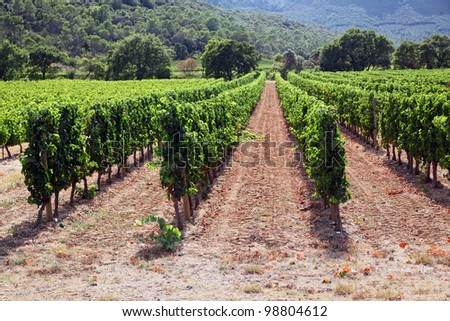 Neat Rows of Vine: vineyard in Languedoc region of France - stock photo
