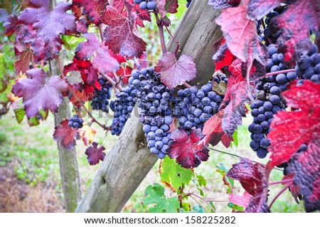 Nebbiolo vineyard. Nebbiolo is a red Italian wine grape variety.