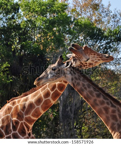 Necking Giraffes. Necking establishes social order and standing for giraffes. Giraffes use the neck and head as weapons when they fight. - stock photo
