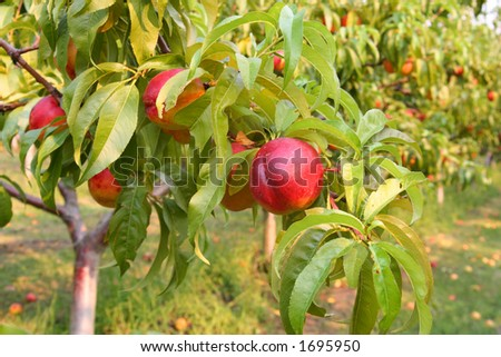 Nectarines on the tree - stock photo