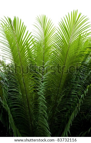 needle-like leaves of cycas - stock photo