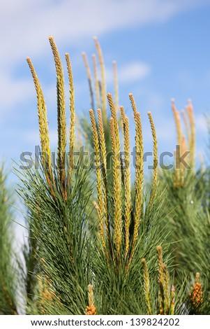 Needles of a pine tree (Pinus sylvestris) - stock photo