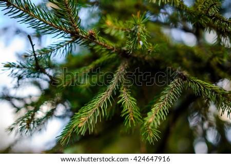 Needles trees macro with spyder - stock photo