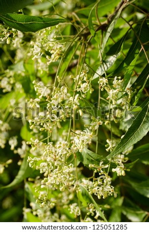 Neem elaves and flowers-Azadirachta indica