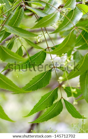 Neem leaves - stock photo